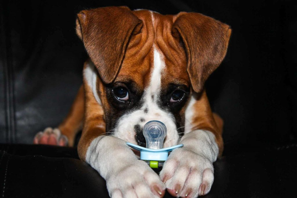 Boxer Blvd We Sell Akc Registered Boxer Puppies Meet Your New Best Friend Today Find A Happy And Healthy Boxer Puppy Guaranteed